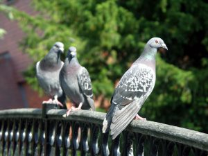 photography-pigeons